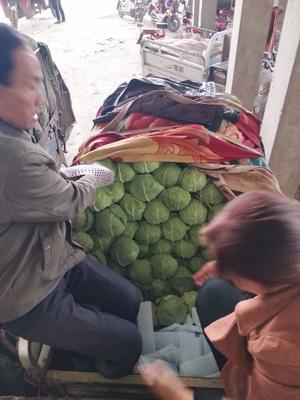 河北邯郸中甘21甘蓝 1.0~1.5斤