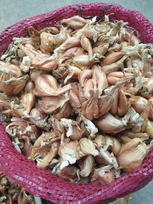 四川省泸州市叙永县红葱种