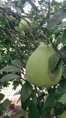 重庆重庆沙田柚 1.5斤以上 沙田柚1.5到1..8斤7元一个