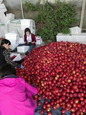 河北秦皇岛昌黎县黄油桃 2两以上 60mm以上 精品黄桃。三月中下来。价格便宜。量大。