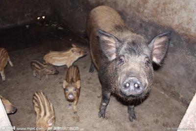 海南儋州黑山猪 60斤以上 统货