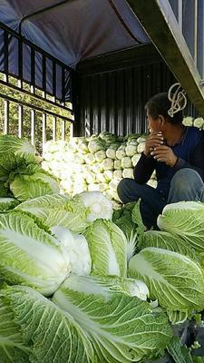 山东省青岛市莱西市秋宝白菜 3~6斤 净菜