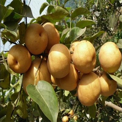 这是一张关于黄金梨树苗 0.5~1米的产品图片