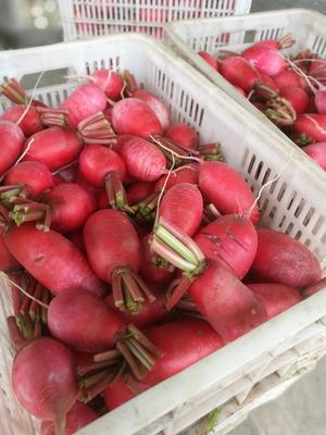 江苏盐城红皮萝卜 0.2~1斤