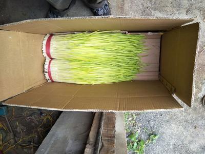 辽宁葫芦岛蒜黄 50 - 60cm