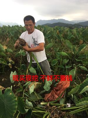 这是一张关于江永香芋 6cm以上的产品图片