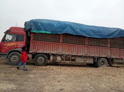 安徽宿州玉米芯