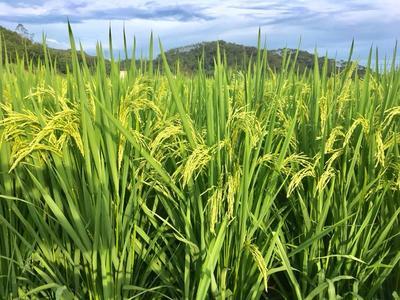 广西钦州香米 有机大米 一等品 晚稻
