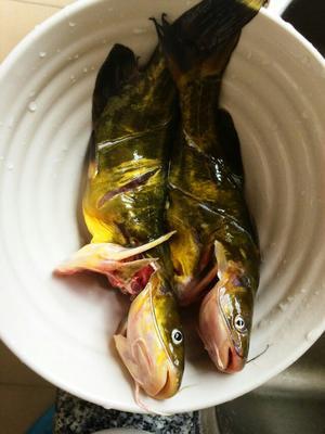 广西来宾杂交黄骨鱼 野生 0.25-1公斤