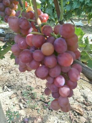 这是一张关于巨玫瑰葡萄 0.8 - 1斤 5%以下的产品图片