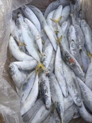 广西北海青鱼 0.1龙8国际官网官方网站 野生 (3-4条/斤)