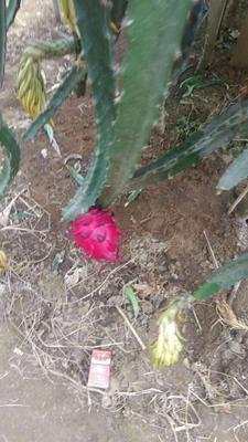 这是一张关于红皮红肉火龙果苗的产品图片