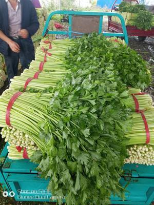 江苏省徐州市铜山区皇妃芹菜 55~60cm 大棚种植 0.5斤以下