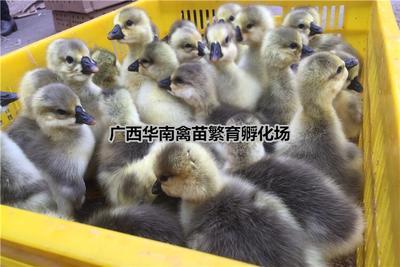 广西南宁狮头鹅苗 纯种正宗大种包纯