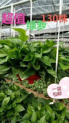 这是一张关于绿萝 美美是甲醛的克星,最适合新房子除甲醛的产品图片
