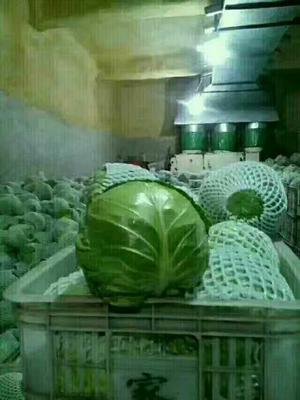 河北省邯郸市曲周县中甘15号甘蓝 1.0~1.5斤