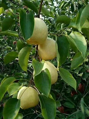 陕西咸阳酥梨 55mm以上 200-250g
