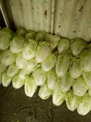 山东省泰安市肥城市夏阳白菜 2~3斤 净菜