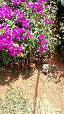 云南昆明大红三角梅 0.2~0.5米
