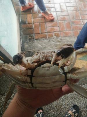 江苏淮安兴化螃蟹 2.0-2.5两 公蟹