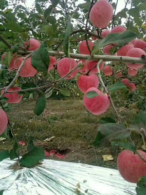 这是一张关于洛川苹果 纸袋 条红 85mm以上的产品图片