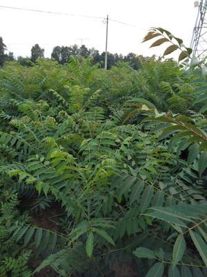 山东省泰安市岱岳区香椿树种