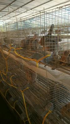 贵州毕节杂交野兔 3-5斤
