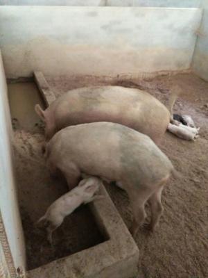 这是一张关于野杂猪 100斤以上 统货的产品图片