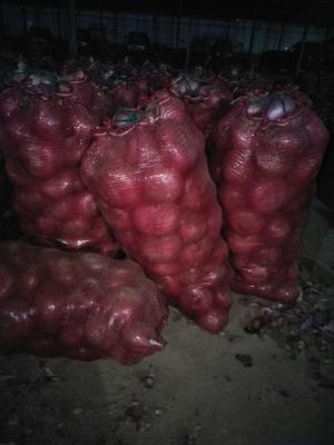 山东聊城二红洋葱 4两以上 8cm以上 红皮