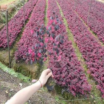 江苏宿迁大叶红 红花继木苗 红叶继木小苗   红继木