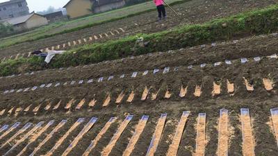 广西贺州其它农机 淮山浅生种植专用开槽机