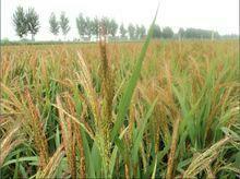 上海浦东新区有机红米