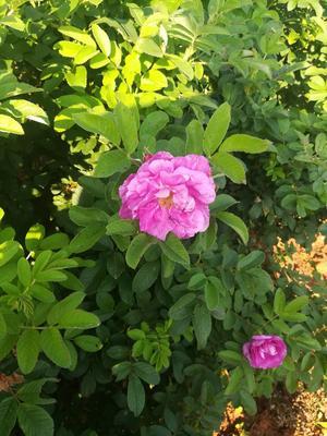 这是一张关于大马士革3号玫瑰的产品图片
