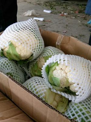 河北省石家庄市井陉县客华耐80菜花 适中 2~3斤 乳白色