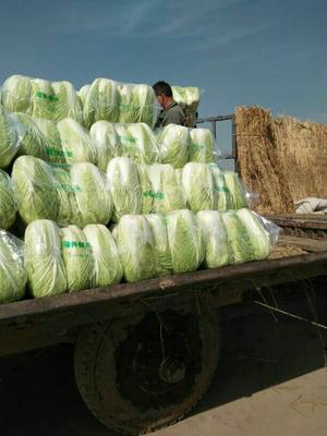 湖北咸宁韩国黄心白菜 3~6斤 净菜