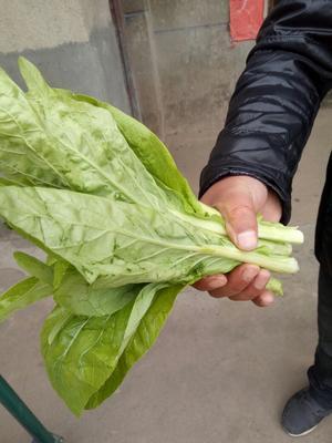 湖南省益阳市南县白菜苔 15~20cm