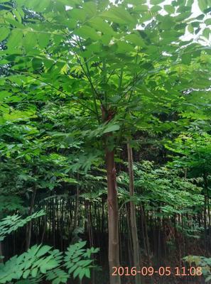 湖北十堰栾树