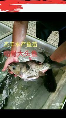 广东广州花鲢 0.05公斤 人工养殖