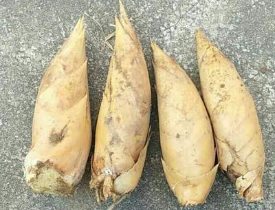 浙江湖州浙江冬笋 9~13cm 鲜笋