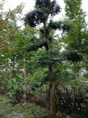 湖北荆门造型景观树