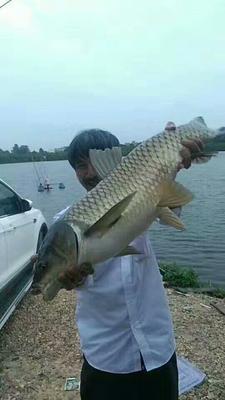 这是一张关于长江草鱼 0.1公斤 人工养殖的产品图片