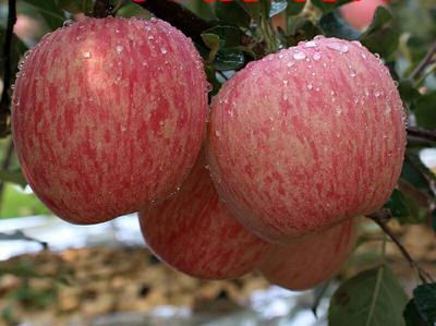 这是一张关于富士王苹果 膜袋 片红 75mm以上的产品图片