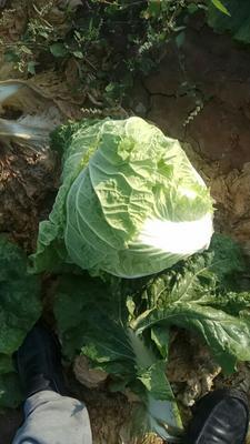山西晋中小白菜 25~30公分
