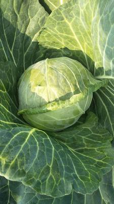 这是一张关于绿甘蓝 0.5~1.0斤的产品图片