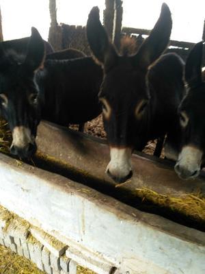 湖北襄樊改良肉驴 400-500斤
