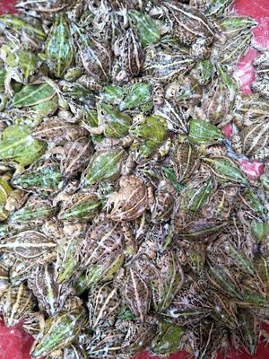 广西桂林青蛙