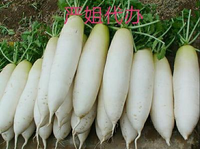 四川乐山新白玉白萝卜 1.5~2斤