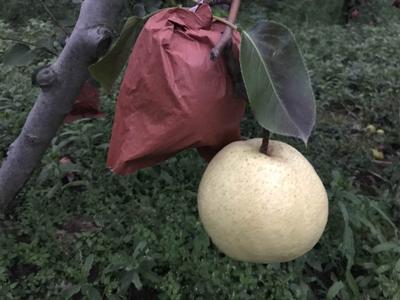 这是一张关于砀山酥梨 70mm以上 200-250g的产品图片