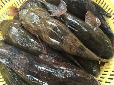 海南海口美兰区笋壳鱼 野生 0.5龙8国际官网官方网站以下