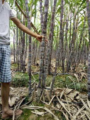 广西玉林黑皮甘蔗 3 - 4cm 2.5 - 3m